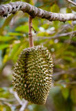 Tripical fruit durian Stock Photo