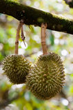 Tripical fruit durians royalty free stock photo