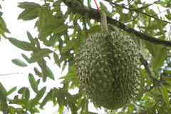 Tripical fruit durians Royalty Free Stock Photos