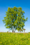 Triple birch. Royalty Free Stock Photo