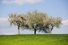 Triple blossomy trees Stock Photos