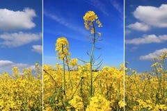 Triple - canola field Stock Photography