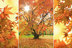 Triple - cherry tree and maple leaves Royalty Free Stock Image
