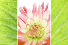Triple - Dahlia and tropic leaf with dew drops. Triple - Dahlia and Tulip with raindrops, in fresh pastel colors Royalty Free Stock Photo