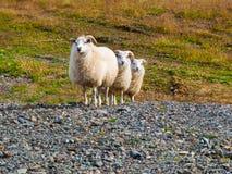 Triple de las ovejas Fotografía de archivo