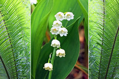Triple - fern plants and lily of the valley Stock Photography