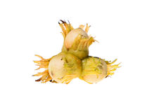 Triple green raw hazel nuts Royalty Free Stock Images