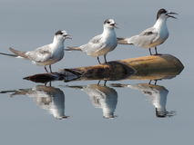 Triple gulls Royalty Free Stock Photography