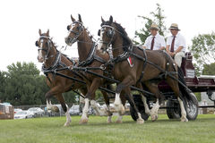 Triple Hitch Draft Horses at Agricultural Fair. A triple hitch team of draft horses and drivers compete in the Heavy Draft Horse competition at the Port Hope Stock Photo