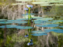 Triple Lillie Reflection Royalty Free Stock Photos
