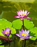 triple lotus in the pond Stock Photo