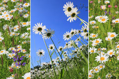 Triple marguerite meadow Stock Image