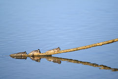 Triple mudskipper Royalty Free Stock Image