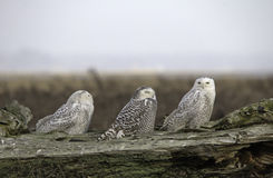 Triple Owls. Snowy Owls at 72nd st Vancouver BC Royalty Free Stock Image