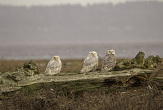 Triple Owls 2. Snowy Owls at 72nd st Vancouver BC Royalty Free Stock Image
