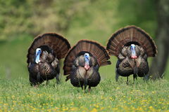 Triple Turkey Royalty Free Stock Image