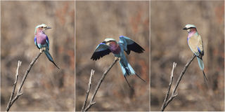 Triple View Of A Terrific Lilac Breasted Roller. Lilac Breasted Roller triple view: front, rear and open wings Royalty Free Stock Photography