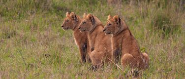Triplet Cubs at Sunrise Stock Photo