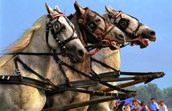Triplet. Horses in the triplet on the parade carriages Stock Images