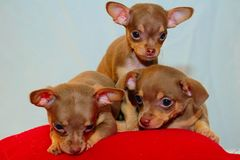 Triplet puppies. 3 chihuahua puppies stock image