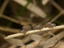 Triplets. Three jumping spiders on a grass stalk Stock Image