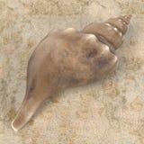 Triplofusus Giganteus Florida Horse Conch Stock Photos