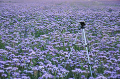 Tripod in a flower field Royalty Free Stock Images
