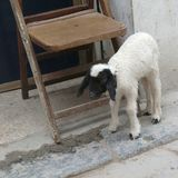 Goat in the street. Tripoli, Lybia - May 02, 2002: baby goat in the street of tripoli Stock Photo