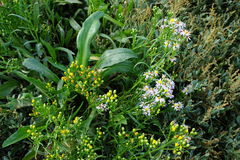 Tripolium pannonicum. Sea aster flowers and leaves mixed with Sea Purslane Royalty Free Stock Photography