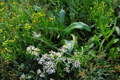 Tripolium Pannonicum. Sea Aster flowers and leaves mixed with Sea Purslane Stock Photo