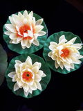 Tripple Lotus Imagem de Stock Royalty Free