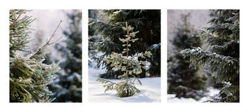 Triptych - Christmas Trees In The Forest Stock Image