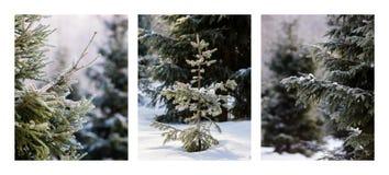 Triptychon - Weihnachtsbäume im Wald Stockbild