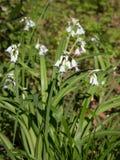 Triquetrum de florescência do Allium Fotos de Stock Royalty Free