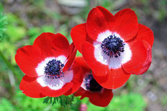 Tris of red anemones Stock Photo