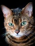 Trist que o gato de bengal levanta para um retrato Imagens de Stock Royalty Free