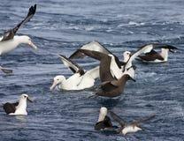 Tristanalbatros, альбатрос Tristan, dabbenena Diomedea стоковые изображения