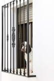 Triste-mirada del perro en balcón en Zuheros, España foto de archivo