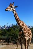 Triste-olhando o girafa Fotografia de Stock Royalty Free