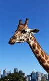 Triste-olhando o girafa Fotos de Stock Royalty Free
