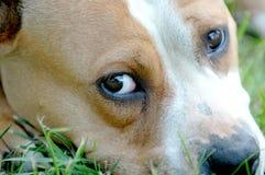 tristesse dans les yeux du chien de terrier de Staffordshire américain Images stock