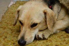 tristesse de chien dans les yeux Photo libre de droits