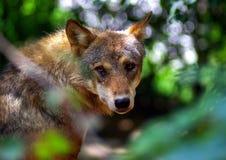 Tristeza del lobo Foto de archivo libre de regalías