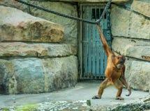 Tristeza do captiveiro Fotografia de Stock Royalty Free