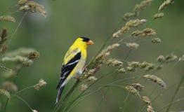 Американские tristis Spinus Goldfinch Стоковое фото RF
