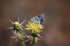 Tristle en vlinder Royalty-vrije Stock Afbeeldingen