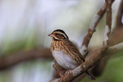 Tristram's Bunting, Emberiza tristrami Royalty Free Stock Photography