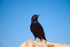 Tristram's starling Stock Images