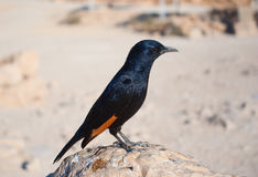Tristram's starling Stock Image