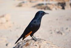 Tristram's starling Stock Image